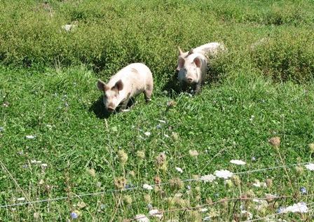 Happy pigs!