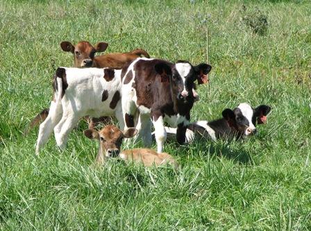 Happy calves!