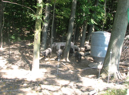 Pigs rooting around at the edge of the forest