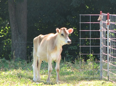 IMG_6825_young cow