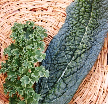 Curly kale (left) and lacinato, or Tuscan, kale